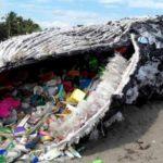 Baleia ameaçada de extinção é encontrada morta com 29 quilos de plástico no estômago