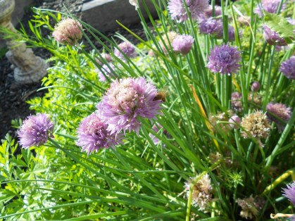 The bees are enjoying these chive flowers as much as I am.