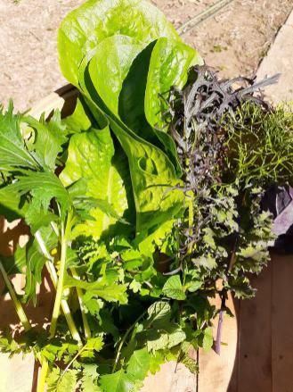 lettuce bunch wagga wagga