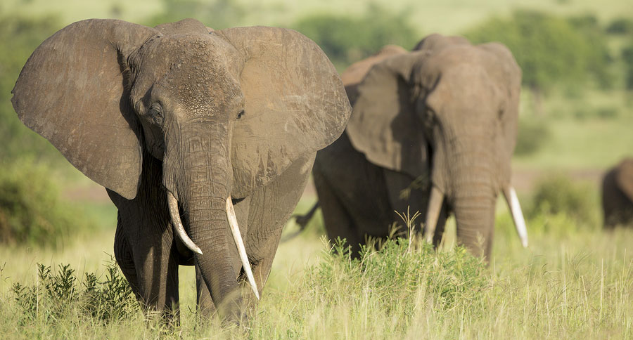 Will you be 'conservation hunting' elephants in Africa?