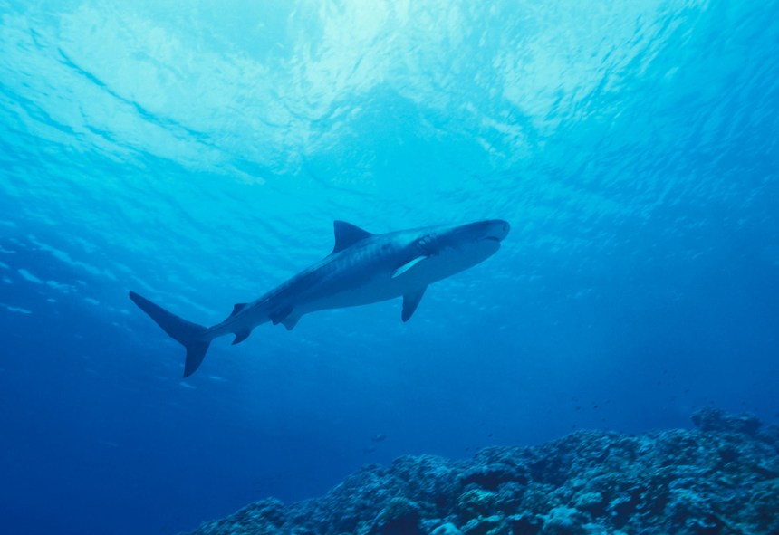 A lonesome predatory Tiger Shark stalks the shallow coral regions of the Great Barrier Reef