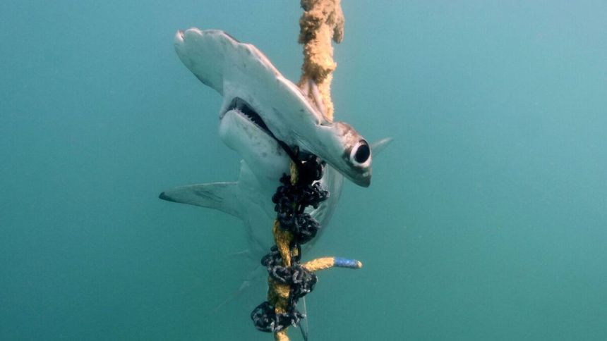 http---prod.static9.net.au-_-media-2018-09-28-14-39-A-scalloped-hammerhead-shark-caught-by-drumlines-in-the-Great-Barrier-Reef-Marine-Park