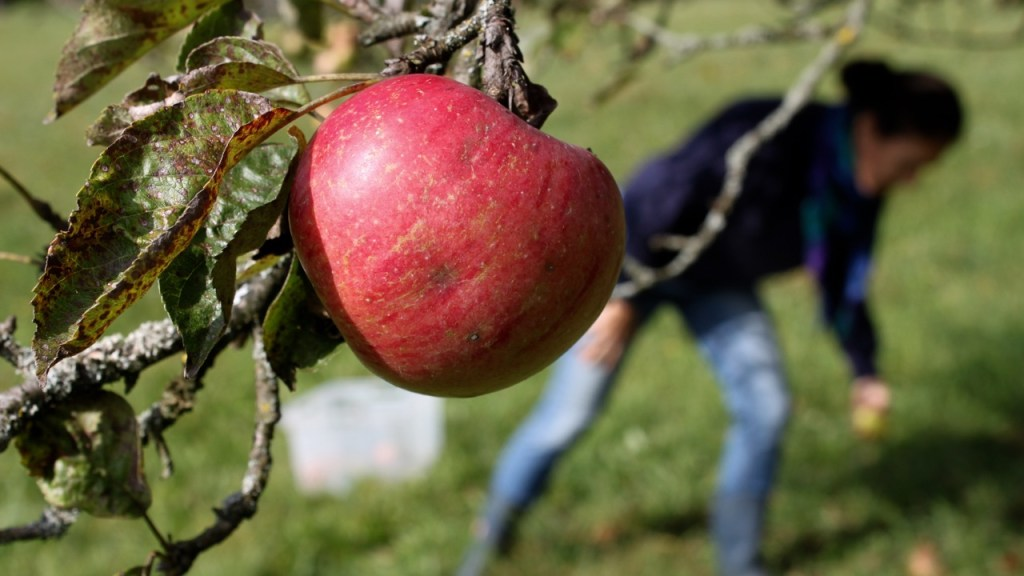 the green walnuts - foraging apples