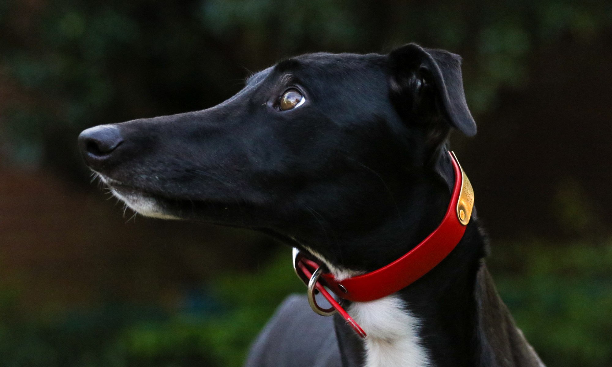 The Fate Of The Racing Greyhound?