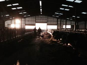 A new shed has been built for the cows complete with mattresses. (Photo attributed to Jordan Harris).