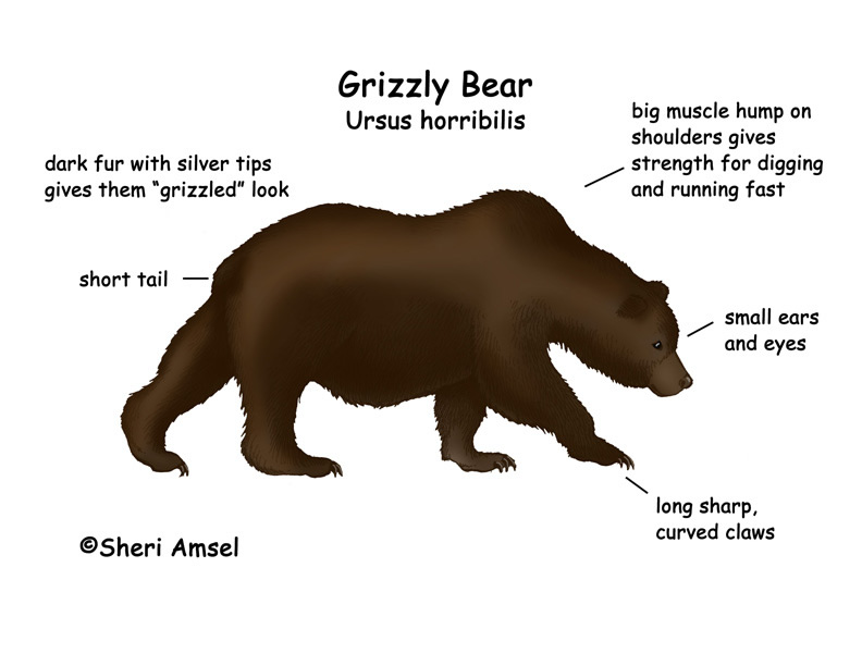 Grizzly Bear Life Cycle