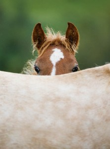 Equine Careers - What are Stud Hands and Stud Hand Jobs - Breeding Horses