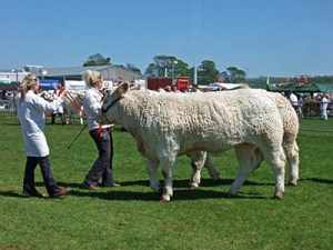 County Shows explained - prize cattle