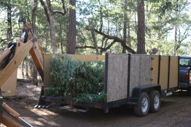 During abatement plants are cut down, loaded into trailers or trucks, and hauled away. Then they are brought to a confidential location to be buried.