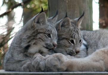 Lynx kitten 04