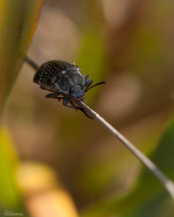 Beetle dude