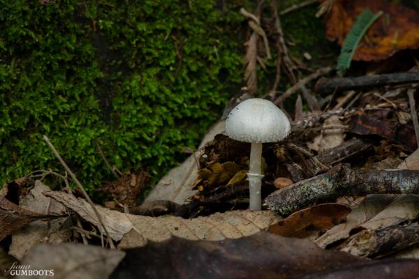 Leucocoprinus 'white'