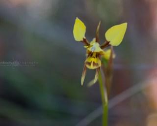 Diuris sulphurea - Waverly Flora Park - November 2017