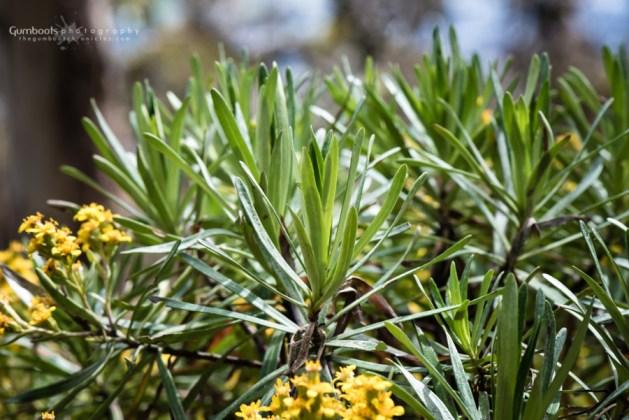 Brachyglottis brunonis | Chalet | 8 Dec 2017
