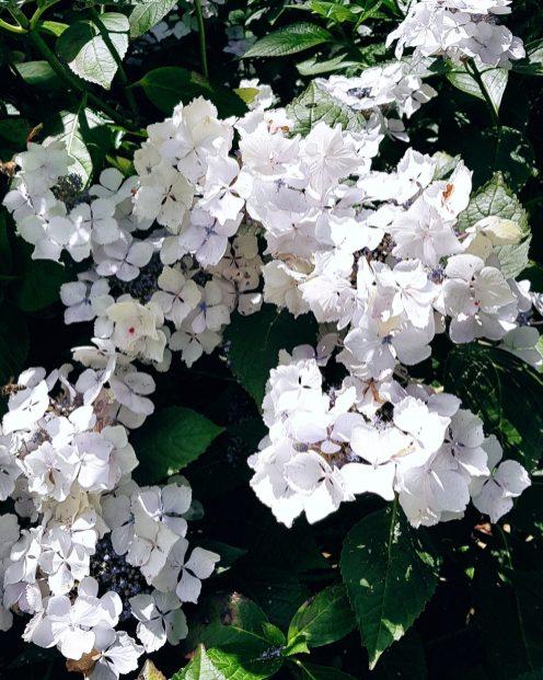 white hydrenga bush