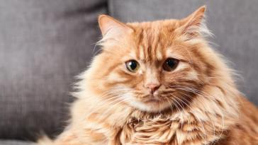 brown long hair cat using long hair cat brush