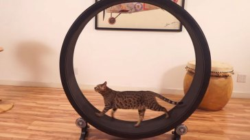 cat treadmill wheel