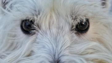how to remove dog eye boogers