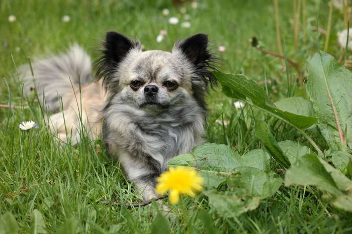 Are Chihuahuas hypoallergenic?