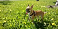 How long can a Chihuahua hold its bladder