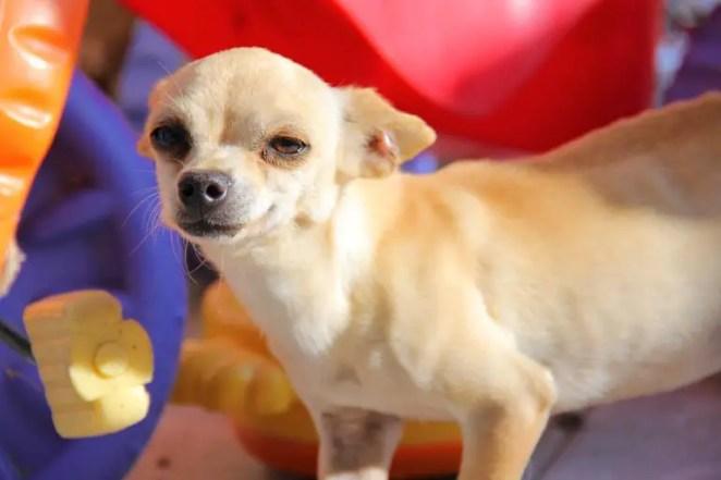 how to tame an aggressive Chihuahua