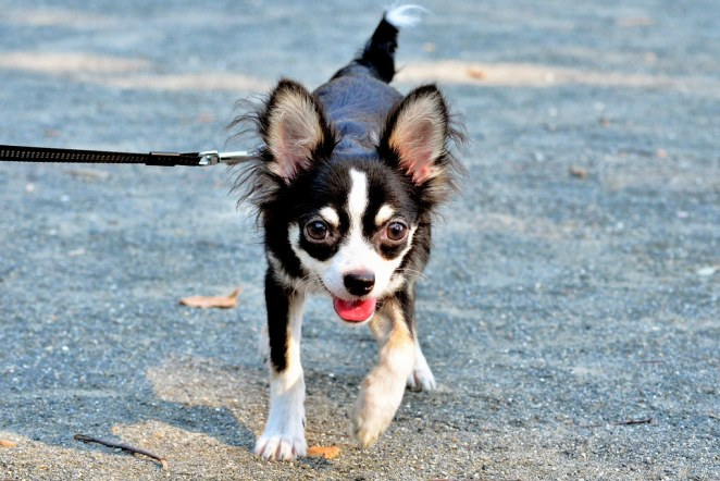 how to train a Chihuahua not to bark at other dogs