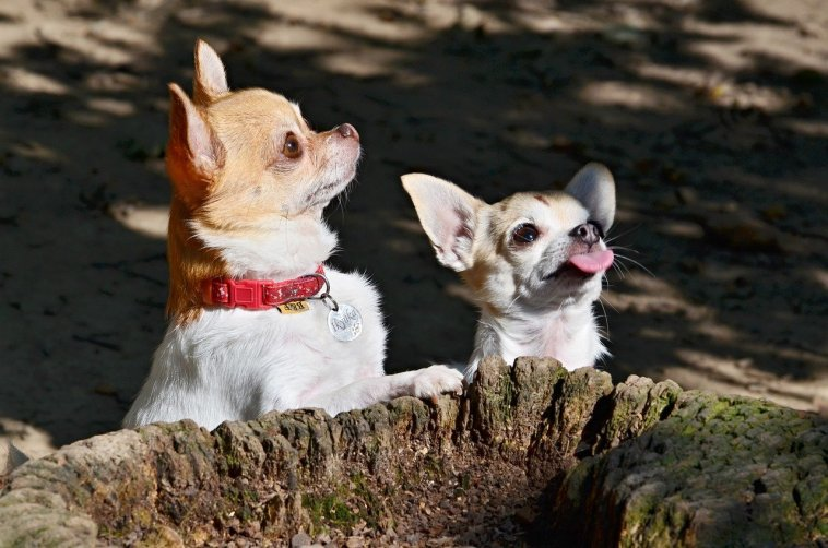 how to train a Chihuahua not to bark