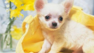 why-are-chihuahuas-so-scared