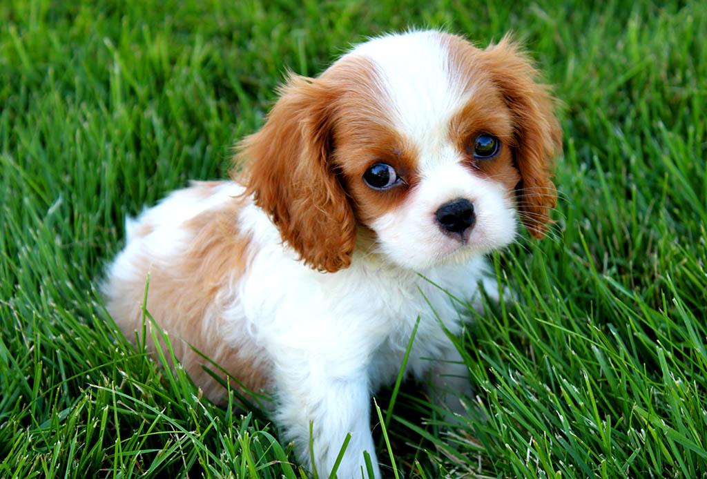 Descubre cuáles son las 7 razas de perros más caras del mundo