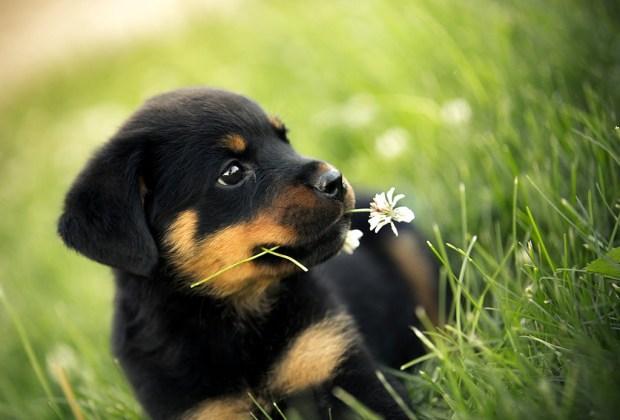 Descubre cuáles son las 7 razas de perros más caras del mundo - rottweiler-1024x694