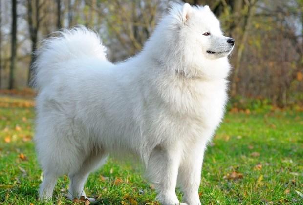 Descubre cuáles son las 7 razas de perros más caras del mundo - samoyedo-1024x694