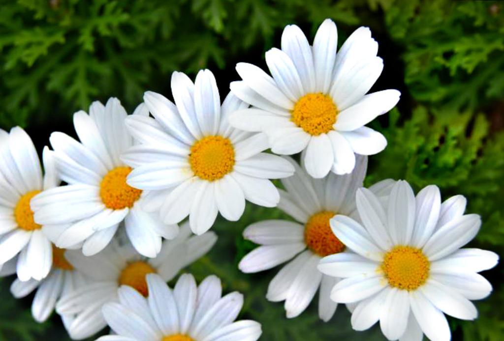 La guía infalible para saber el significado de las flores - margaritas