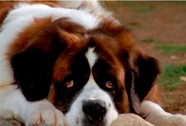 Los perros más famosos del cine - beethoven-1024x694