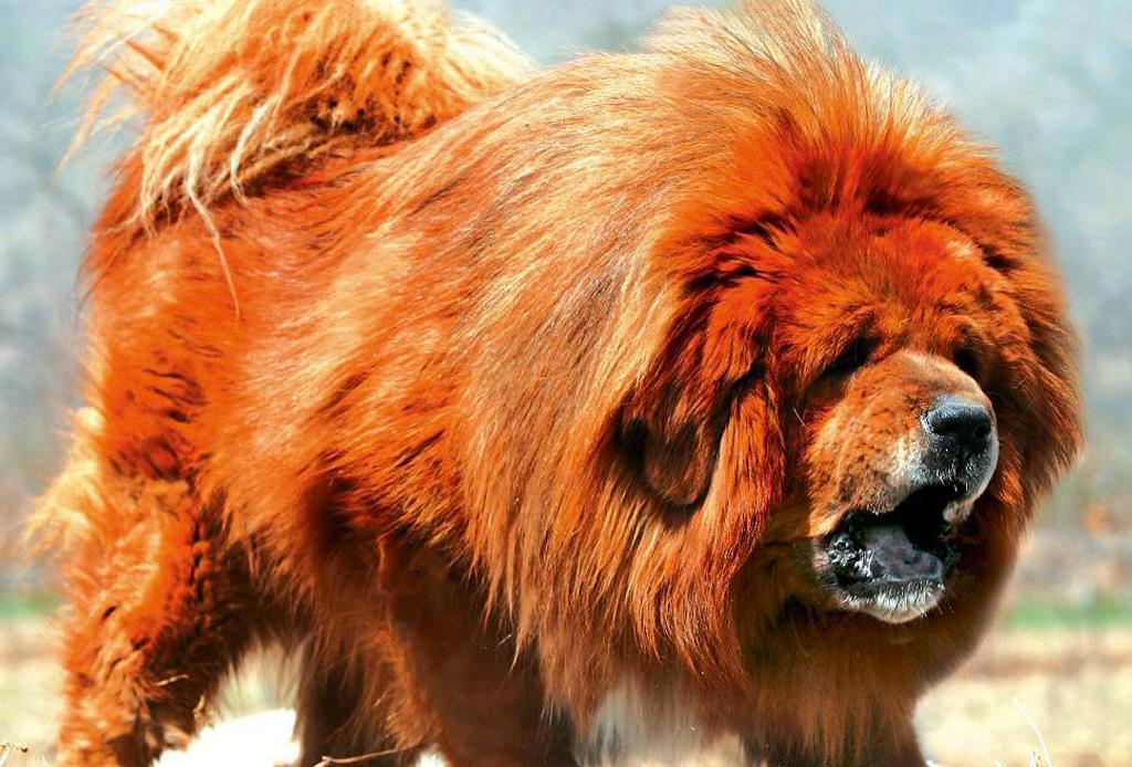 Las 10 razas de perro más grandes del mundo - perros-mas-grandes-del-mundo-1