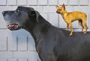 Las 10 razas de perro más grandes del mundo