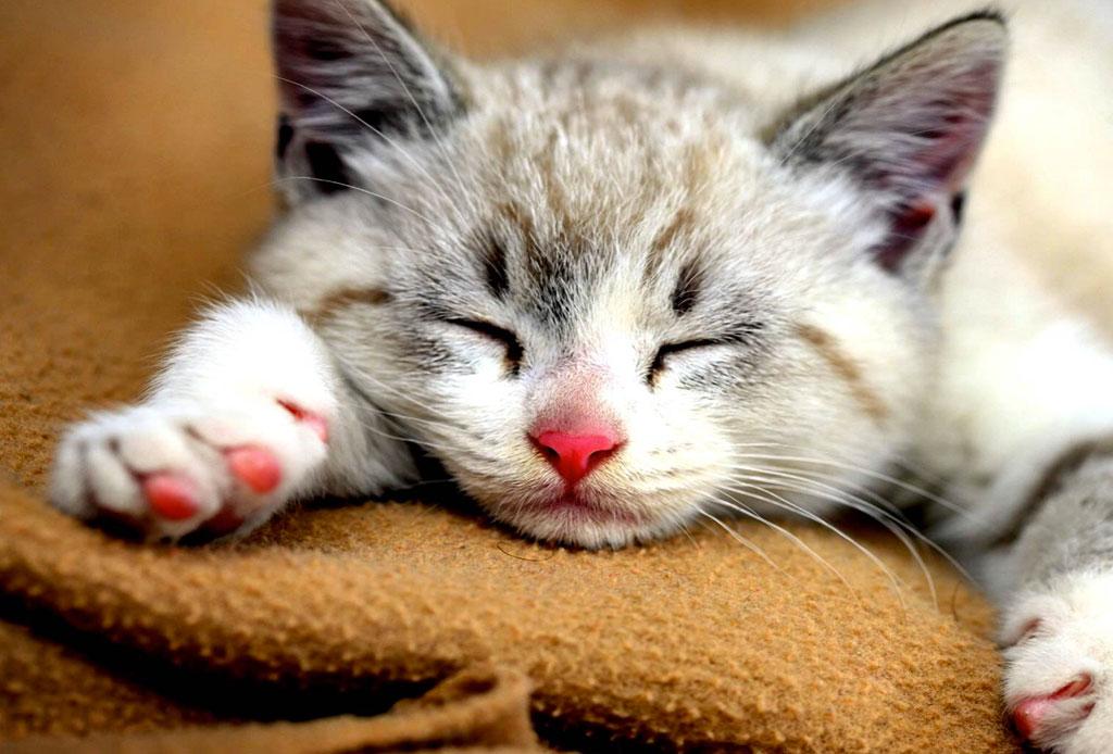 Una app hará que tu mascota esté relajada - cat-sleep