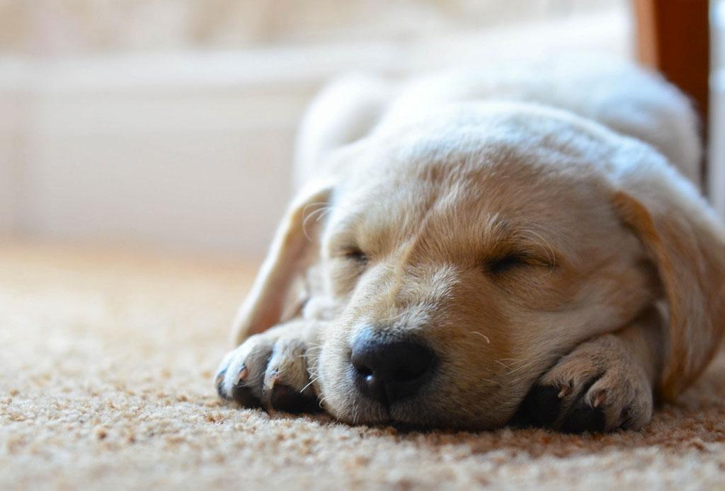 Una app hará que tu mascota esté relajada - dog-sleep