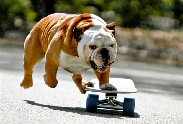 Razas de perros ideales para convivir en familia - perros-bulldog-1024x694