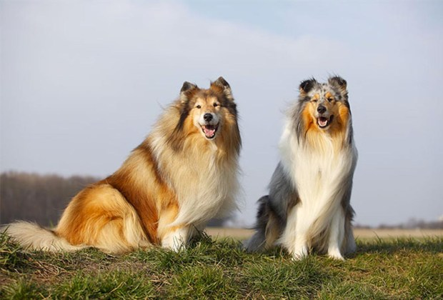 Razas de perros ideales para convivir en familia - perros-collie-1024x694