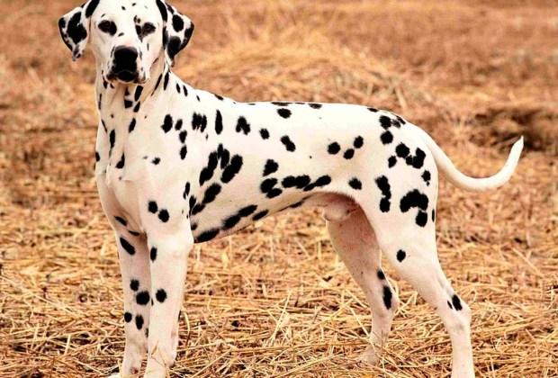 Las 10 razas de perro más activas para los niños - dalmata-1024x694