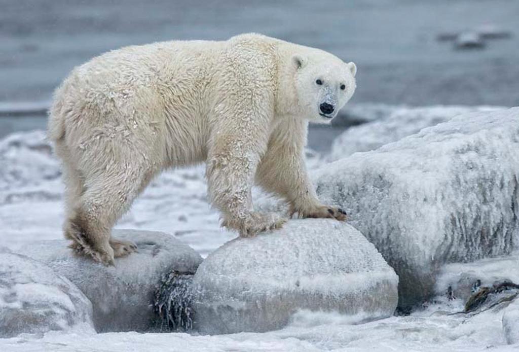 El mejor lugar para ver osos polares: Churchill, Canadá - oso-12