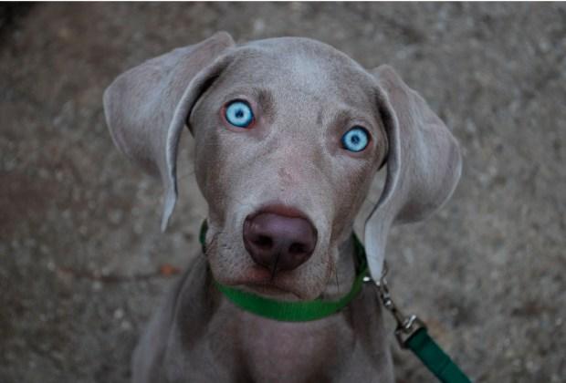 Las 10 razas de perro más activas para los niños - weimaraner-1024x694
