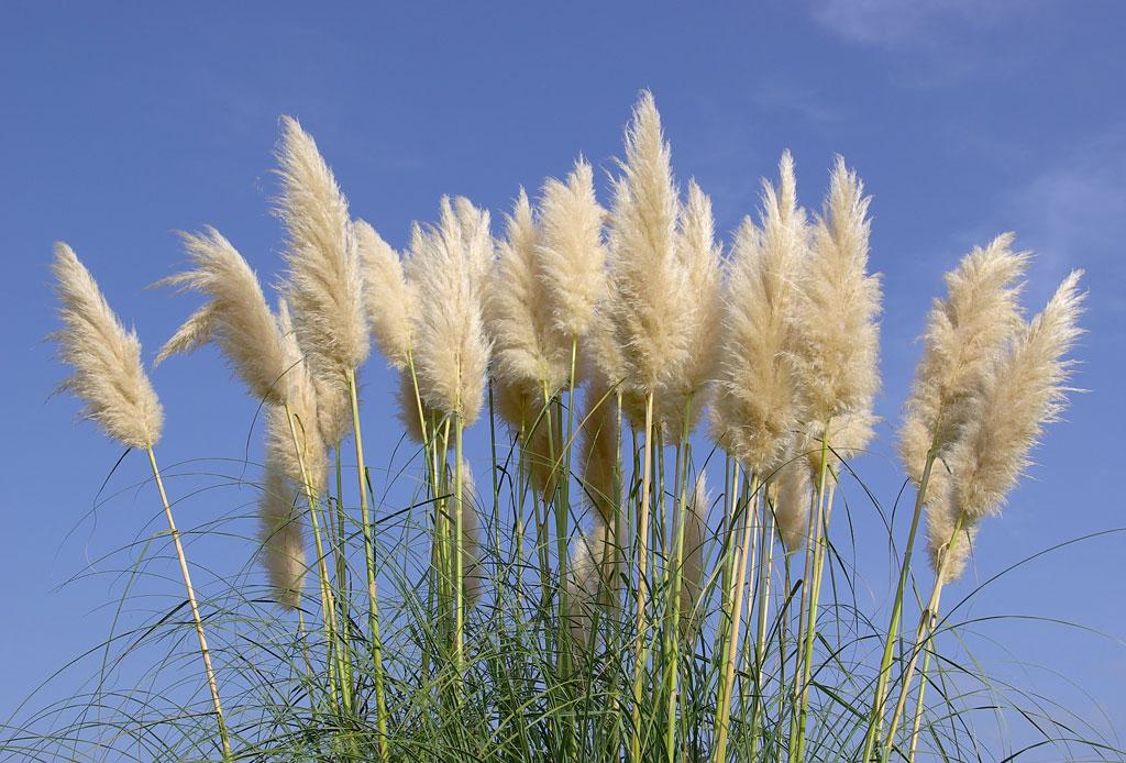 Pampas grass: el elemento decorativo que no deberá faltar esta temporada