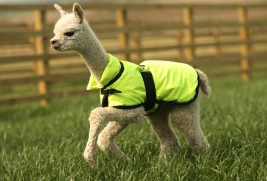 Las mascotas más extrañas en todo el mundo - alpaca-300x203