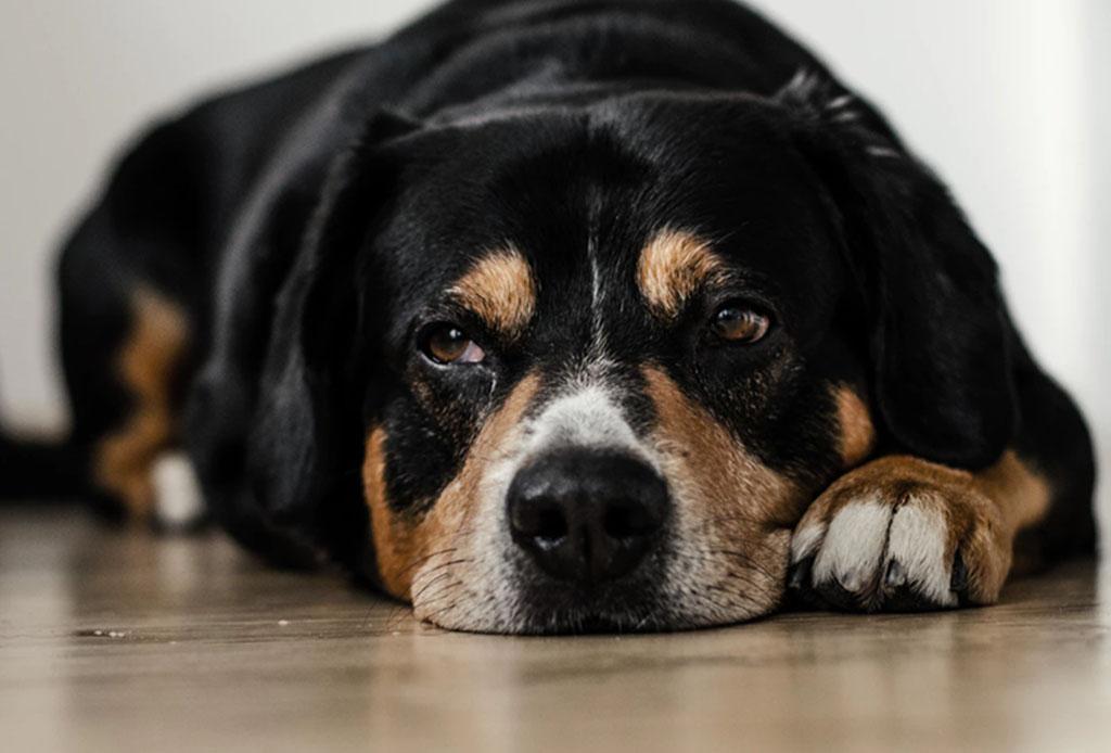 Un laboratorio desarrolló tratamientos con hemp para aliviar el dolor de perros con cáncer
