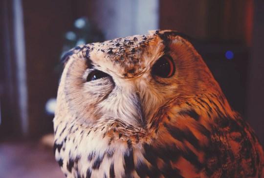 Las mascotas más extrañas en todo el mundo - owlcafe-300x203