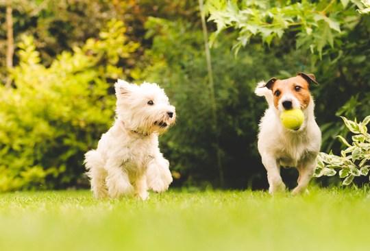 ¿Crees estar obsesionado con tu perro? ¡Checa cuántas cosas de esta lista haces! - senales-obesionado-perro-in-good-way-8-1-300x203