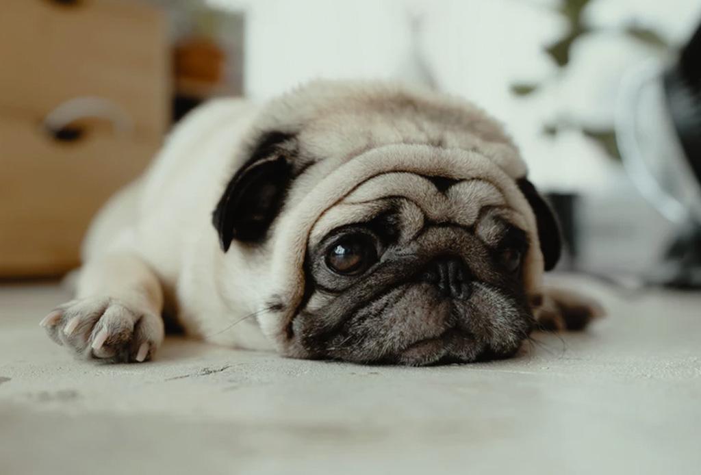 Convierte tu departamento en el lugar ideal para tu perro - razas-perros-vivir-departamento-2-1024x694