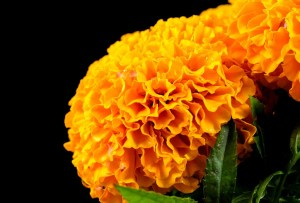 ¿A qué huele la flor de cempasúchil? Esta marca mexicana de perfumes capturó su esencia