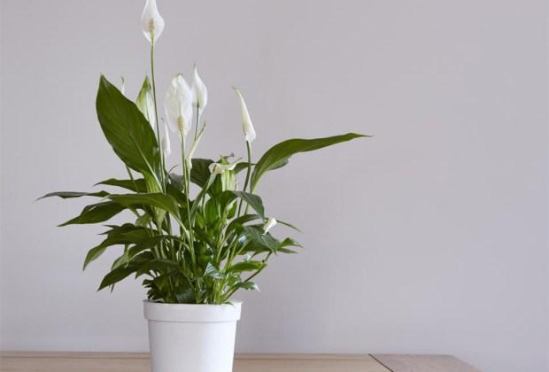 Plantas que ayudan a purificar el ambiente de tu casa - plantasinterior8-1